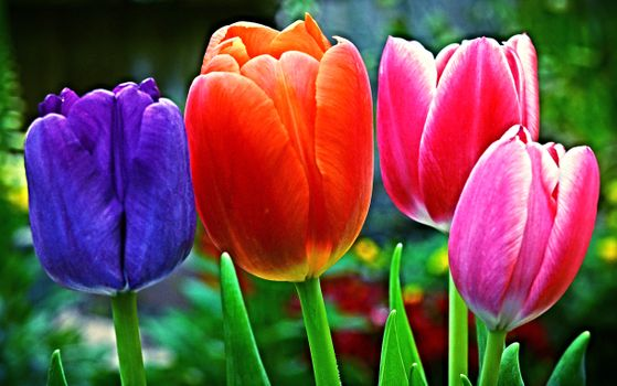 Фото бесплатно разноцветные, тюльпаны, цветы