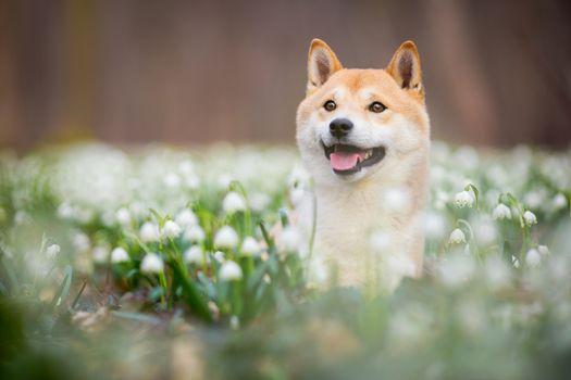 Shiba Inu in snowdrops · free photo