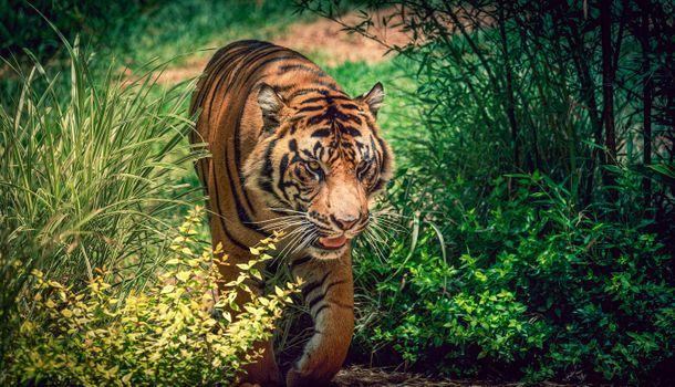 Фото бесплатно большая кошка, Калифорния, тигр