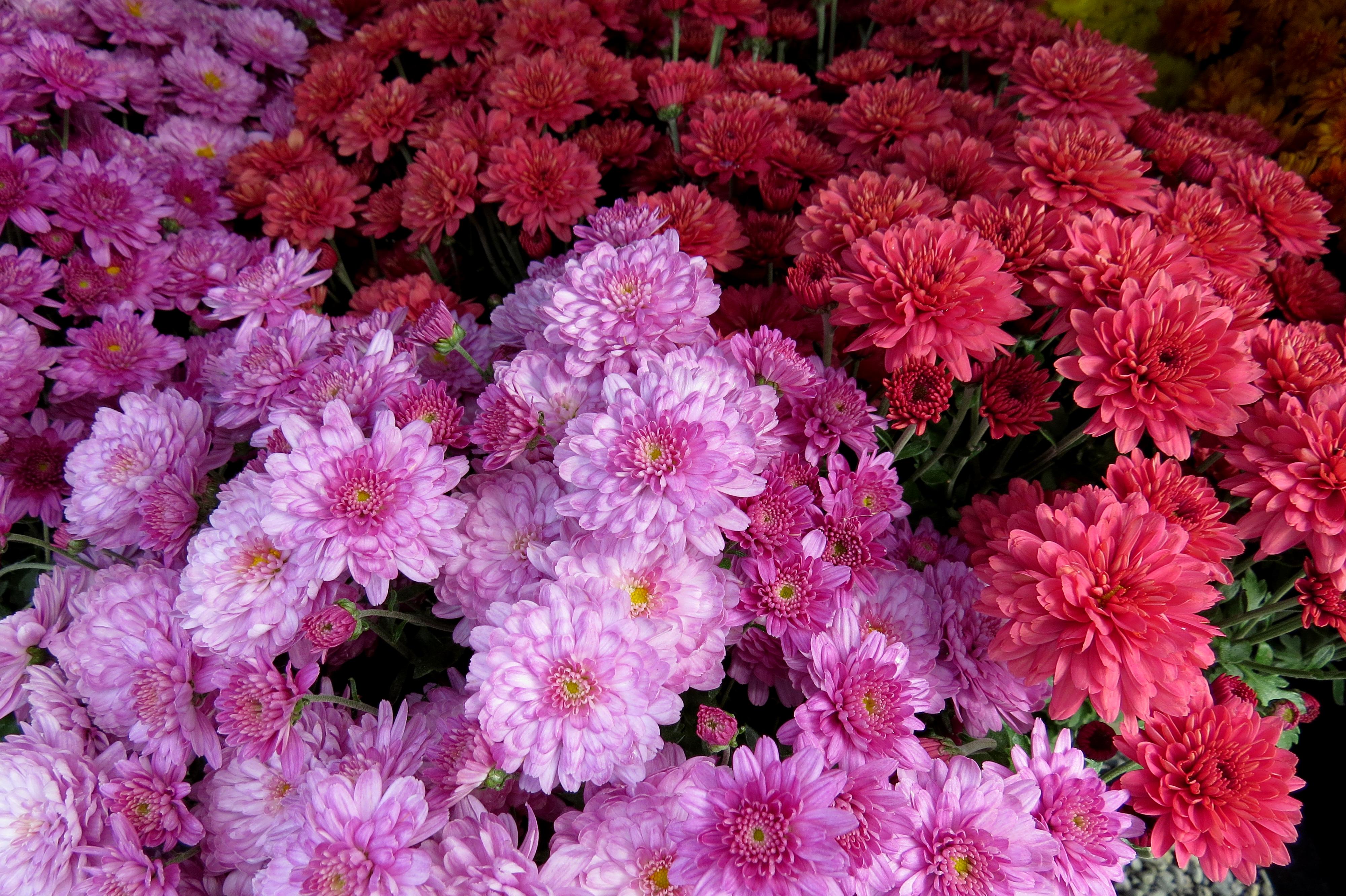 Цветы хризантемы открытка