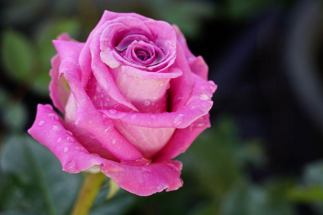 Фото бесплатно роза, капли, сиреневая, роса, крупный план, бутон, лепестки, цветы, цветок, флора, цветы - скачать на рабочий стол