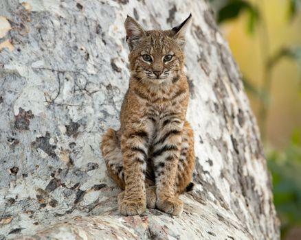 Photo free animal, lynx, Lynx lynx