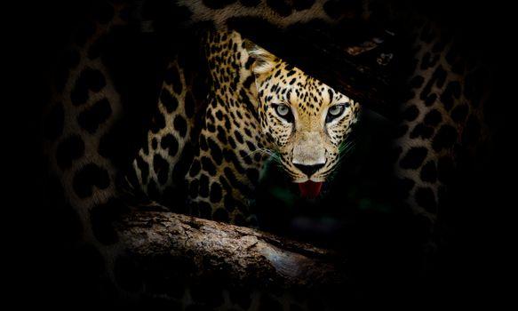 Фото хищник, леопард портрет - обои на стол