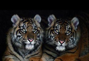 Фото бесплатно тигрята, хищники, тигр