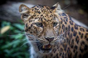 Леопард на фон