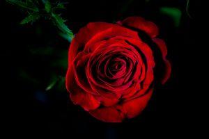 Фото бесплатно роза, розы, цветы, цветок, цветочный, цветение, цветочная композиция, флора