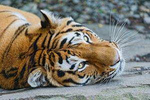 Заставки взгляд, тигровые тигры, хищник