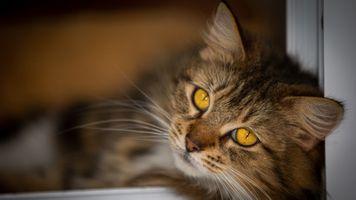 Пушистый златоглазый кот · бесплатное фото