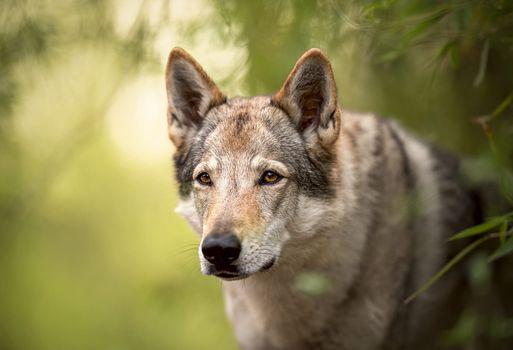 Волчья собака Сарлоса · бесплатное фото