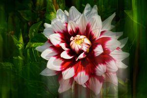 Фото бесплатно Далия, цветение, флора