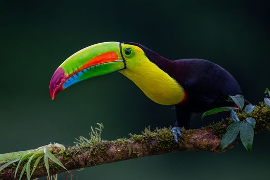 Photo free Keel-billed Toucan, Toucan with beak chilcotin, Ramphastos sulfuratus