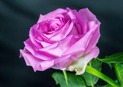 Бесплатно розы, пурпурные розы фото на телефон