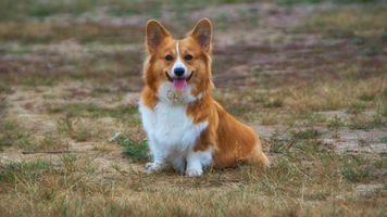 Photo free Corgi, puppy, dog