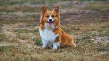 Фото бесплатно корги, щенок, собака