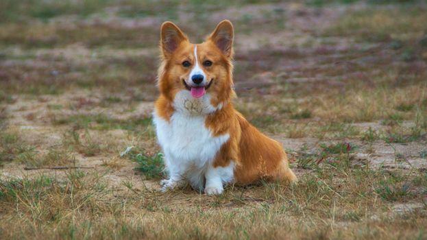 Заставки корги, щенок, собака