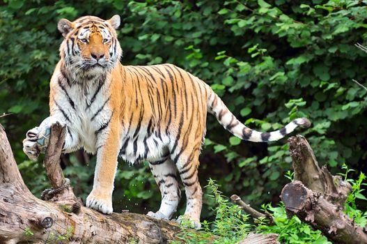 Тигр играет с футбольным мячом · бесплатное фото