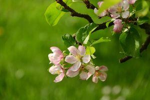 Часть дерева яблони