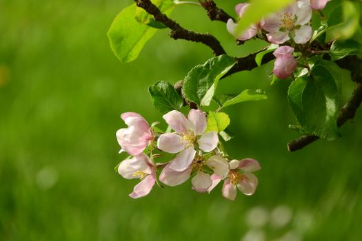 Part of the Crabapple tree · free photo