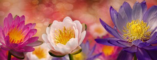 Фото бесплатно флора, водяная лилия, панорама