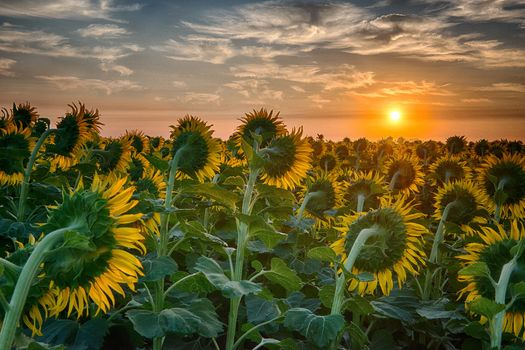 Photo free sunflowers facing the sun, a huge field, sunset