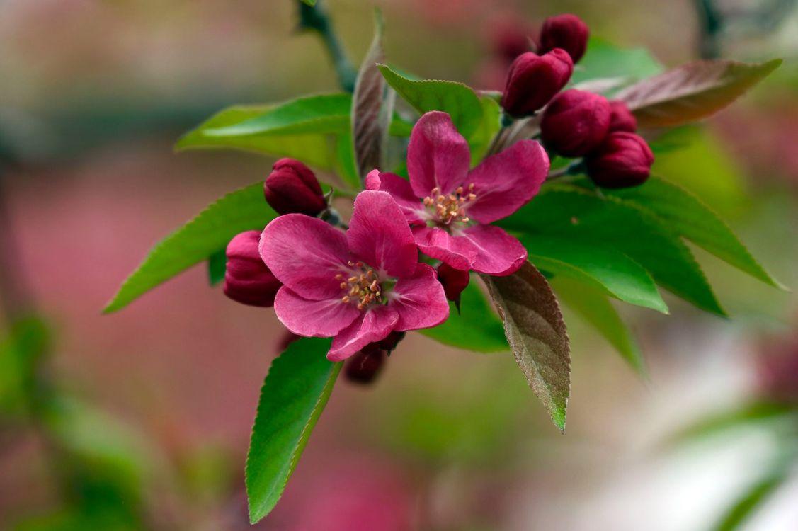 Весенняя яблоня · бесплатная заставка