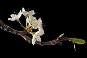 Photo free Cherry Blossom, flowering branch, flowering