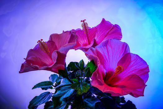 Фото бесплатно Hibiscus, лепестки, букетик