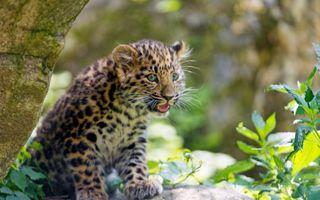 Фото бесплатно молодой леопард, хищник, котенок