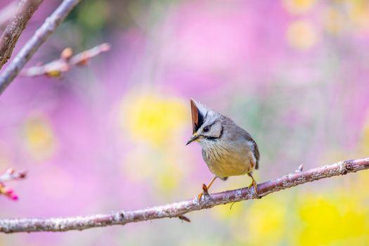 Photo free Yuhina Latin Yuhina, genus of passerine birds from the family of white-eye, Zosteropidae