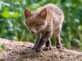Фото бесплатно хищник, Red Fox, Рыжая лиса
