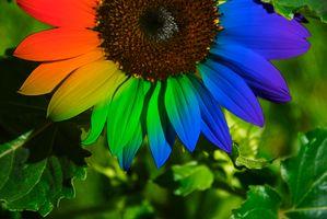 Заставки подсолнух, цветок, макро