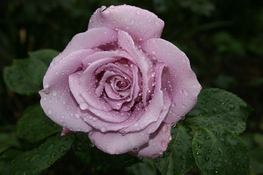 Фото роза, розы на рабочий стол