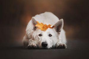 Рыжий лист на белой собаке
