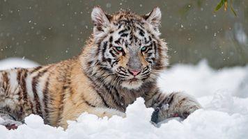 Белый тигрёнок и снегопад · бесплатное фото