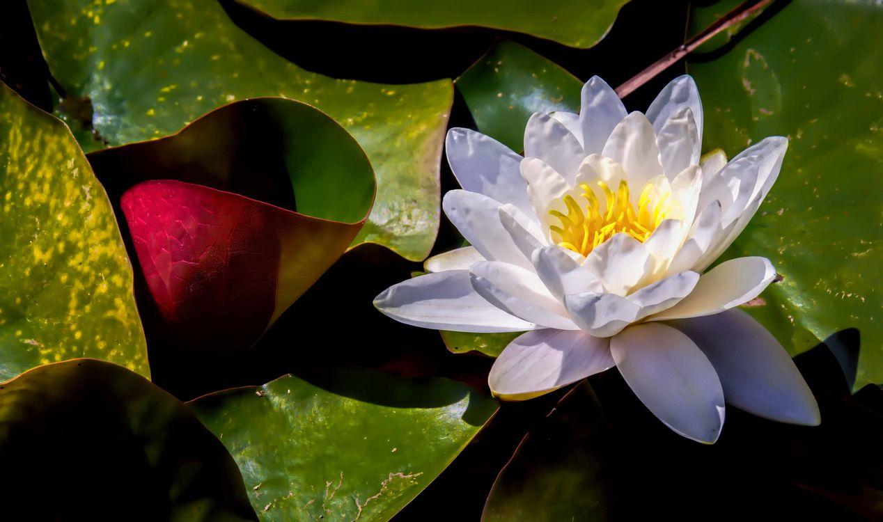 Белая лилия · бесплатное фото