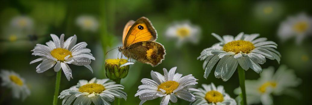 Заставки бабочка, ромашки, цветок