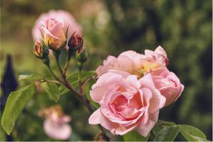 Фото бесплатно цветение, цветы, роза