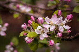 Яблоня весной
