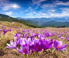 Розовые крокусы в горах