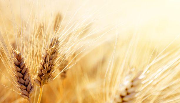 Фото бесплатно пшеница, продовольственное зерно, трава семьи