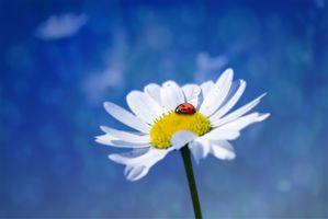 Photo free macro, Daisy, flower