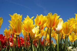 Так выглядят желтые тюльпаны