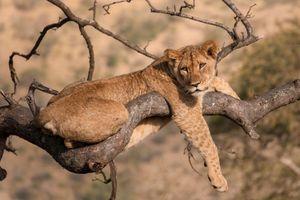Бесплатные фото Африка,львица,хищник,животное,взгляд,портрет