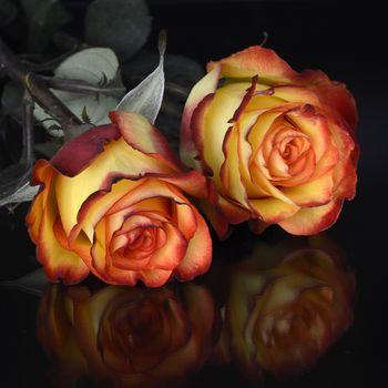 Бесплатные фото роза,розы,цветок,цветы,цветение,флора,чёрный фон