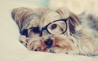 Фото бесплатно животные, собаки, собака в очках