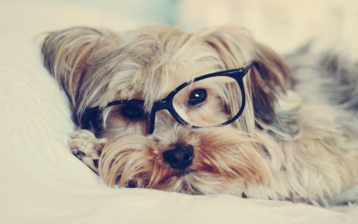 Фото бесплатно животные, собаки, собака в очках, очки, хипстер, щенки - на рабочий стол