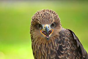 Фото бесплатно сокол, хищник, птицы
