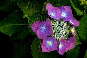 Фото бесплатно гортензия, цветы, ветка, листья, флора