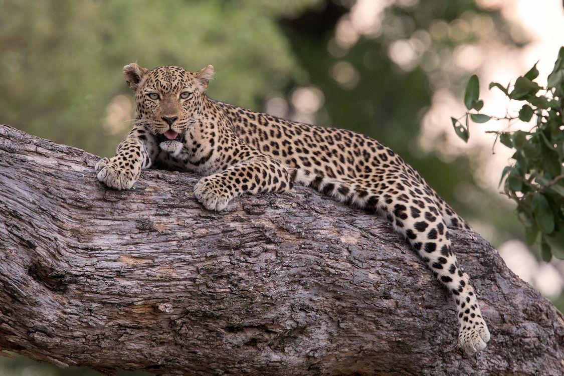 Free photo big cat, leopard, tree - to desktop