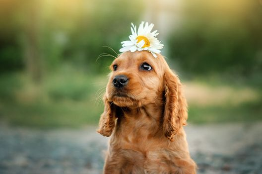 Puppy with daisies on her head · free photo